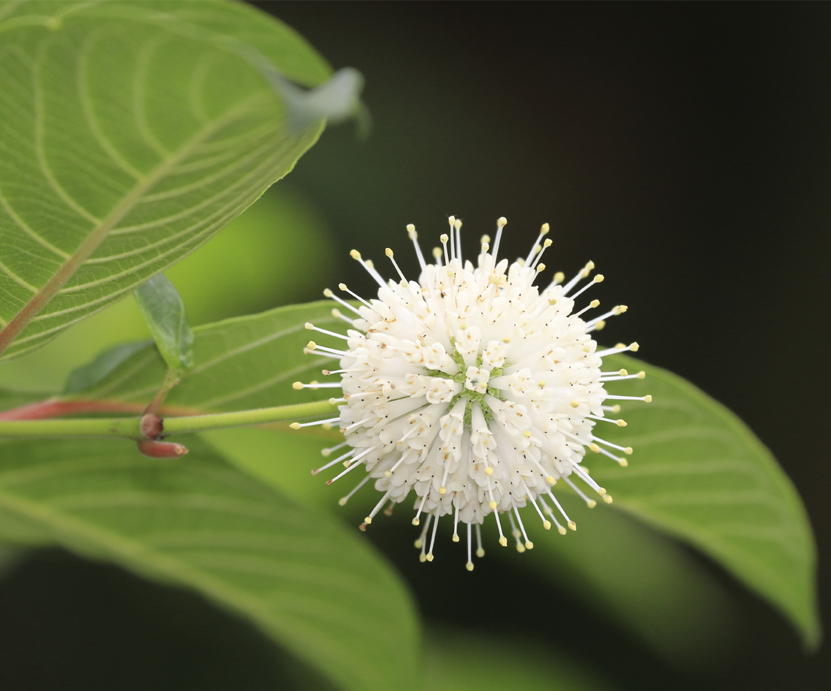 Cephalanthus Occidentalis (Globe Flower)