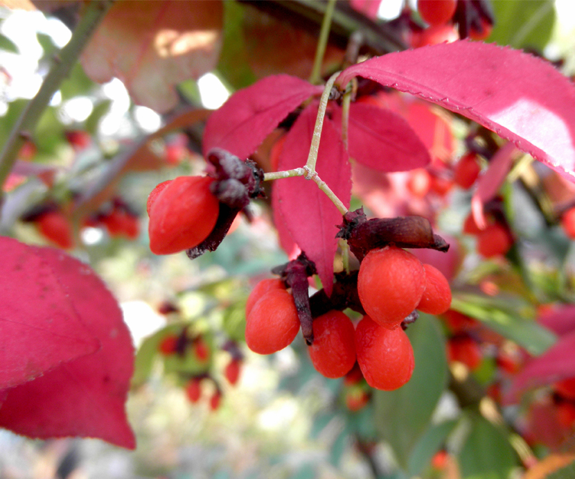 Euonymus Atropurpureus (Burning Bush)