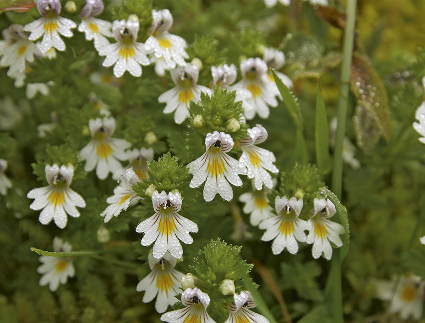 Euphrasia officinalis (Eye-bright)