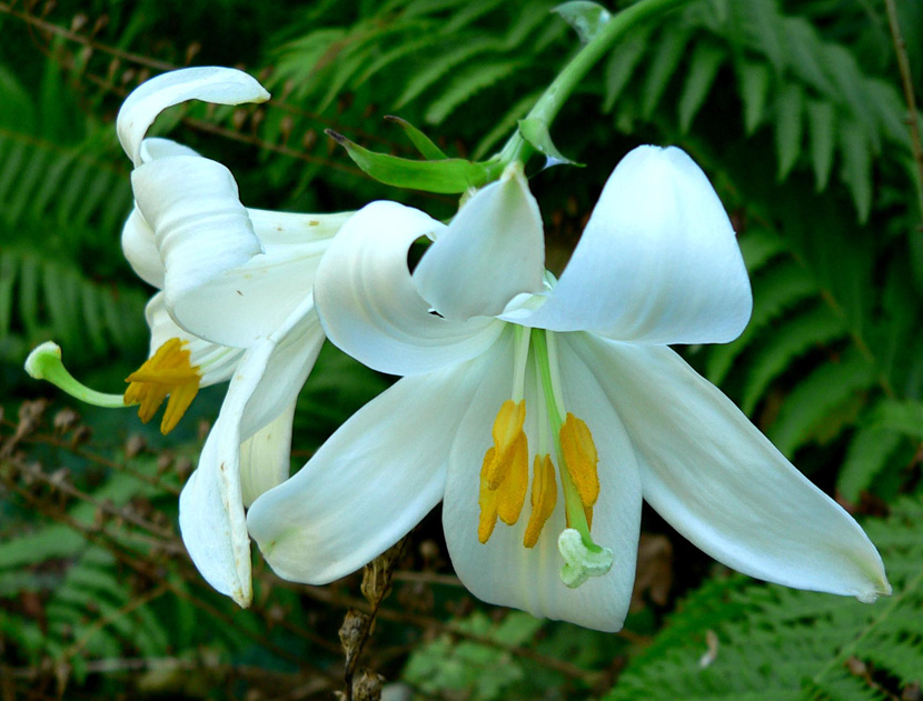 Lilium Candidum (Lily Meadow)