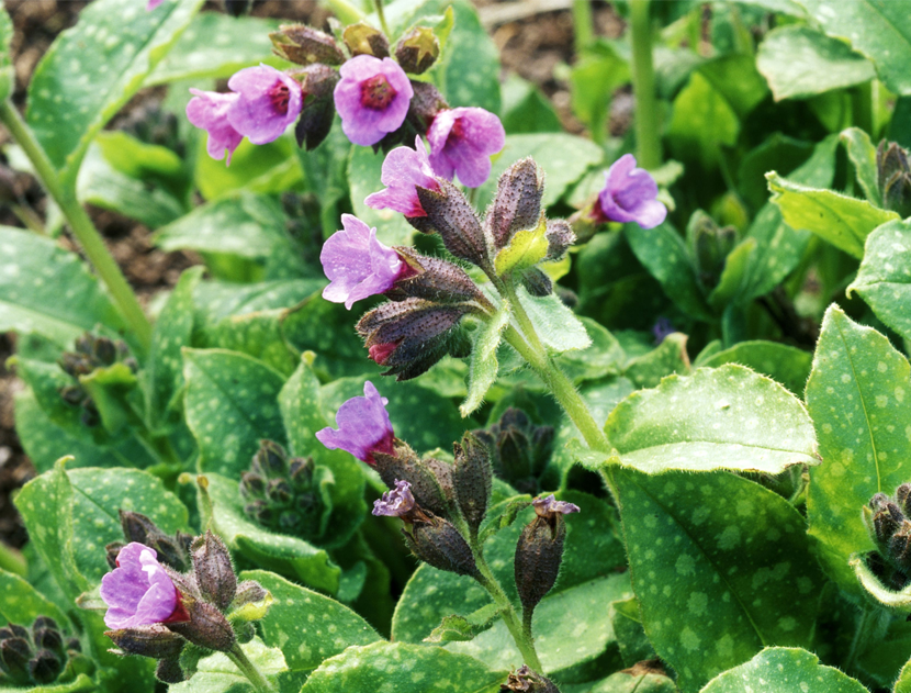 Pulmonaria Officinalis (Lungwort)