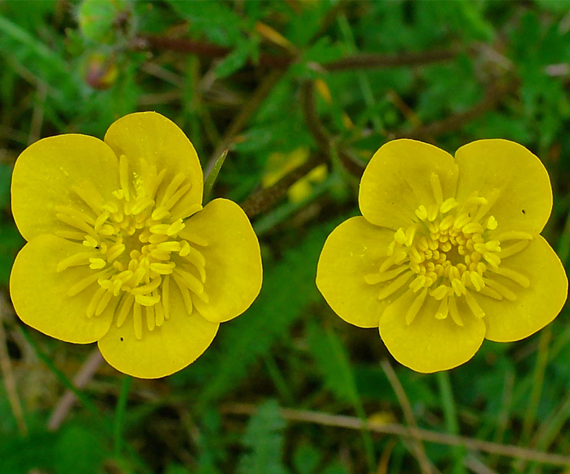 Ranunculus Bulbosus (Crowfoot)
