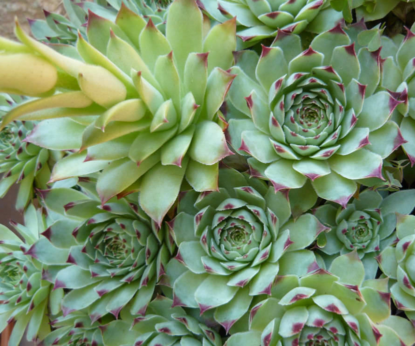 Sempervivum Tectorum (House-Leek)